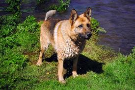 Beautiful german shepherd dog pending