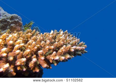coral reef with hard acropora coral at the bottom of tropical sea on blue water background