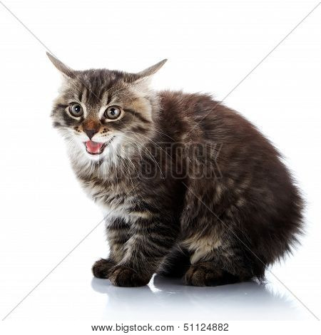 poster of Striped fluffy angry cat. Striped not purebred kitten. Kitten on a white background. Small predator. Small cat.