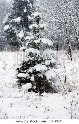 Solitary Baby Pine In The Winter