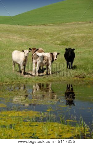 Range cattle at milling at a Vernal Pool Rio Vista California poster