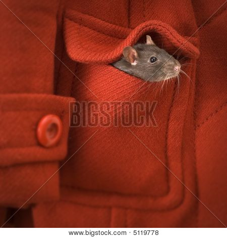 Rat Or Mouse In The Pocket Of A Red Coat