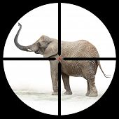 African elephant in the Hunter's scope.  poster