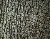Huge oak bark as background close up poster