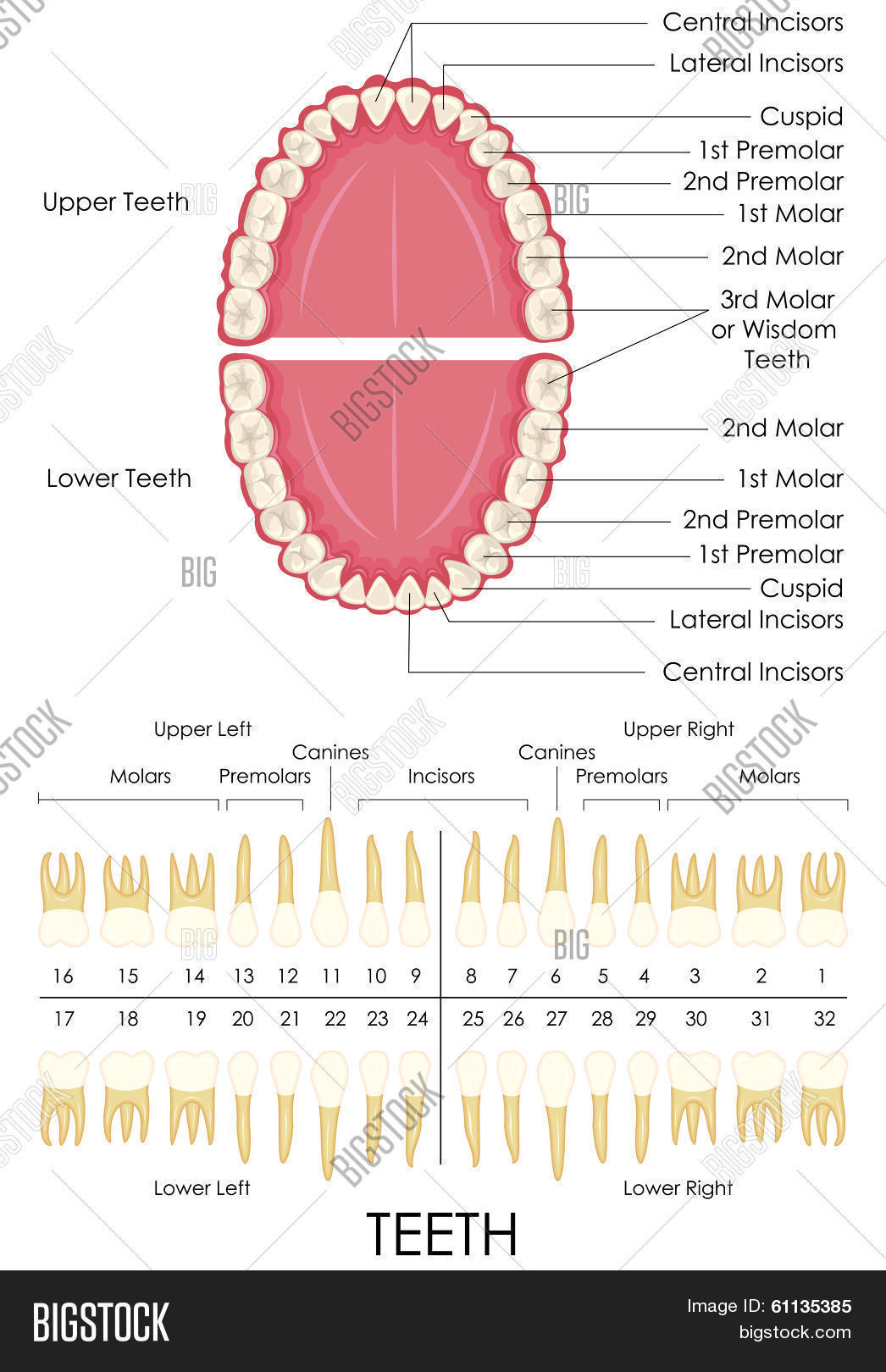 Human Dental Anatomy Vector & Photo (Free Trial) | Bigstock