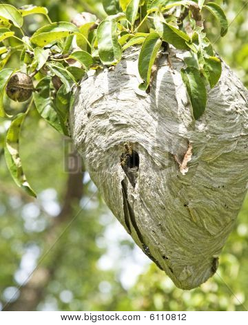 Yellowjacket Nest Up Close