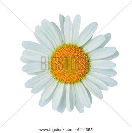 Petals Of Daisy