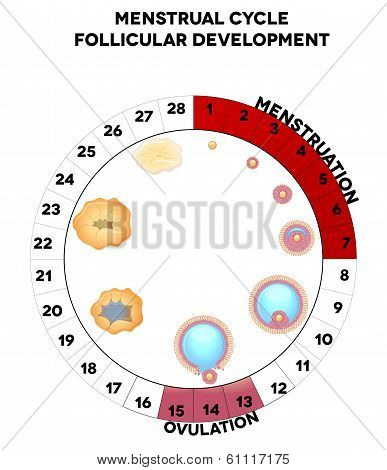 Menstrual cycle graphic detailed follicular development illustration menstruation and ovulation days. Isolated on a white background. poster