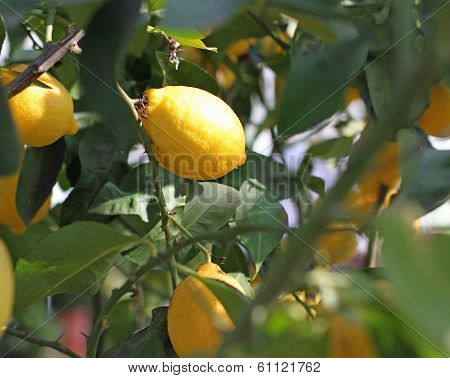 Yellow Ripe Lemons Hanging From A Tree In The Orchard