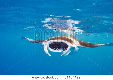 Manta ray floating underwater among plankton