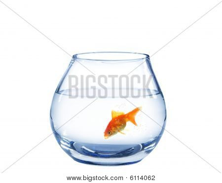 gold fish in spherical aquarium on white background poster