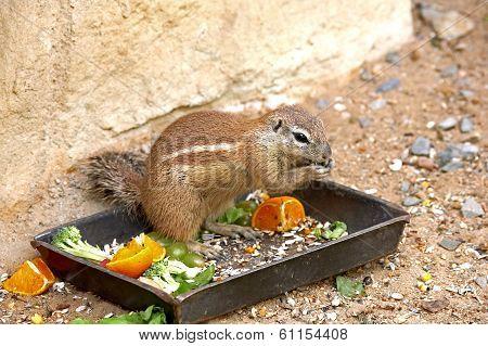 Exotic Squirrel