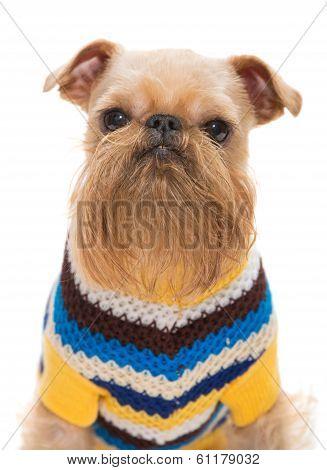 Dog Breed Bruxellois Griffon
