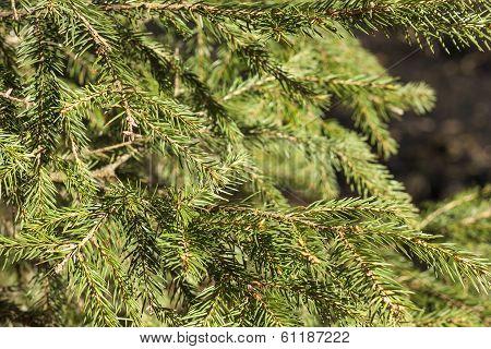 Fir-tree Needles