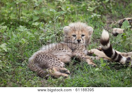 Cheetah Cub With Mother In Serengetti National Park