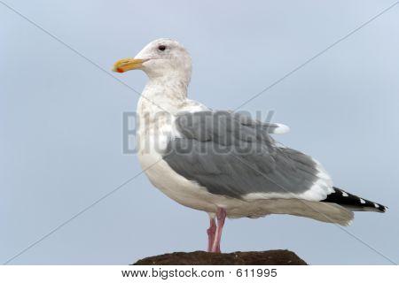 Seagull In Profile