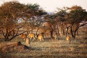 Lion pride walking a early morning in Serengeti, Tanzania. Sunrise, east Africa. poster