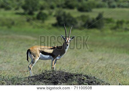 Grant's gazelle in the African savannah Masai Mara poster