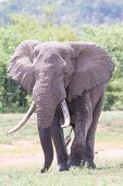 Huge elephant bull walking in the hot sun away from water to feed poster