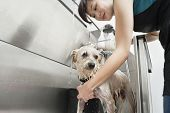 Woman pet groomer cleaning dog in sink poster