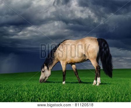 Dun arabian pony on a meadow before a thunder-storm