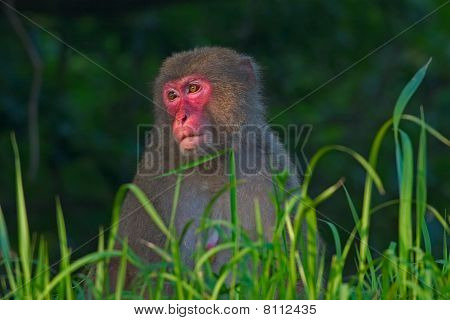 Female Japanese macaque sits in long grass in Miyazaki Prefecture, Japan. poster