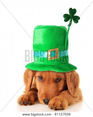 An Irish setter puppy wearing a Saint Patrick day hat.