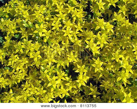 Flowering Moss