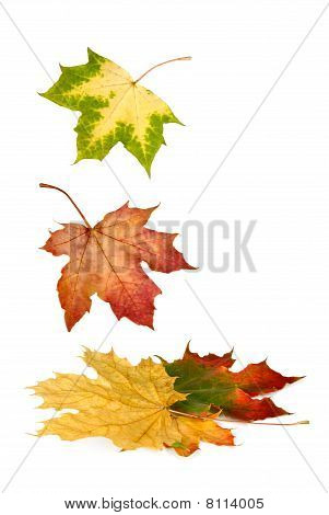 Colorful Maple Leaves Falling Down