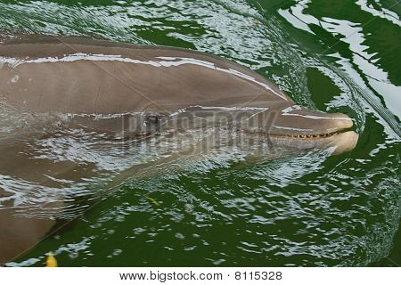 Dolphin swimming on the surface