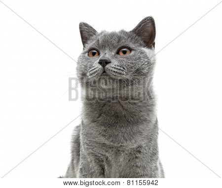 Young Gray Cat With Yellow Eyes On A White Background Background