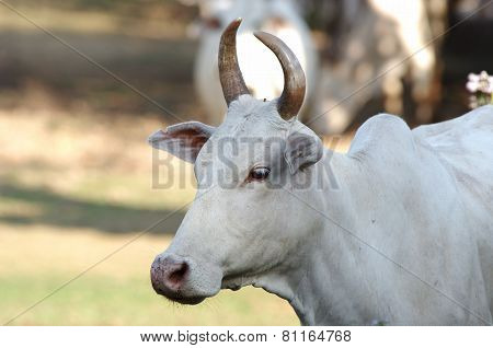 face of the white ox