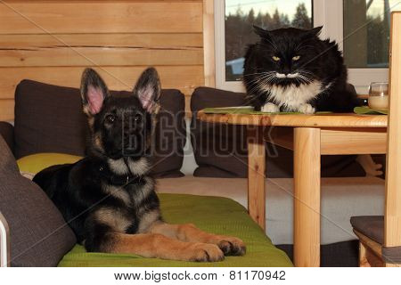 German Shepherd Puppy And Cat