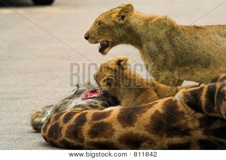 Cubs feeding