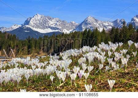 Meadow With Early Spring Crocus, Geroldsee And Karwendel Mountains, Germany
