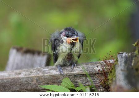 A nestling bird with open beak. The Leningrad Region, Russia