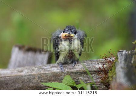 A nestling bird. The Leningrad Region, Russia