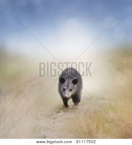 Young Opossum Walking In A Field
