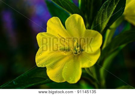 Evening Primrose Flower With Drops Of Dew