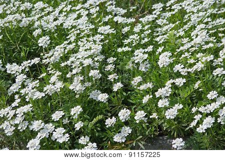 White Pruit's candytuft flowers