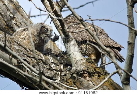 Young Owlet Devouring A Rodent Brought By Its Parent
