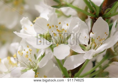 Mayflower flower: a branch with lots of white flowers close-up