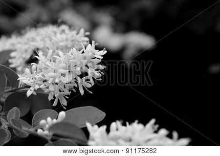 Privet Blooms Closeup In Black And White