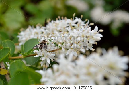 Privet Blooms Closeup With Bee
