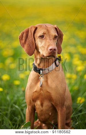 Hungarian Vizsla pointer dog outdoor. Low DOF