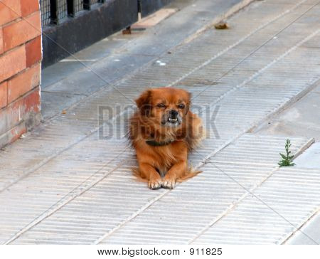 Dog Without Dama
