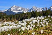 wildflower meadow with early spring crocus geroldsee and karwendel mountains scenic spring landscape germany poster