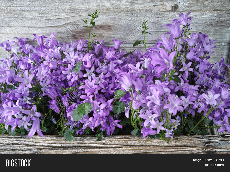 Purple Campanula Blue Bell Flowers Image Photo Bigstock