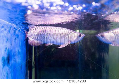 Golden arowana fish is believed to bring luck among Asians. The believers keep them as pets in home and office** Note: Visible grain at 100%, best at smaller sizes poster