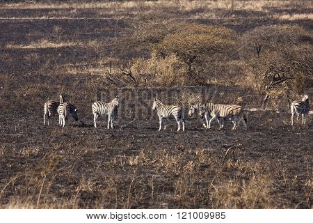 A dazzle or herd of zebra (equus quagga) on a grass savanna that is black with ash and soot from a recent brush fire.